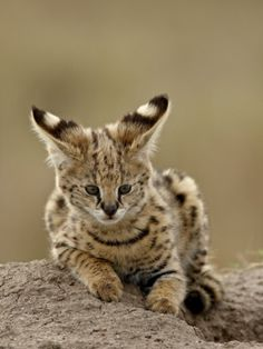 Serval (Felis Serval) Cub on Termite Mound, Masai Mara National Reserve, Kenya, East Africa by James Hager