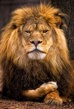 Beautiful creature.  Have always loved lions...