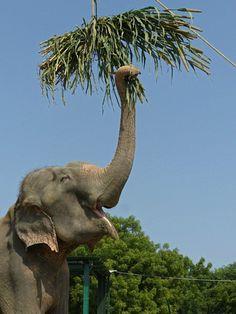Elephants | Raju's Life After Rescue