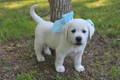 White Lab Puppy - - would love to take pic like this of Little Bonny and Baby.