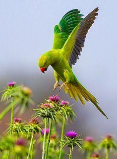 Rose-ringed Parakeet. by yaki zander)