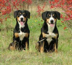 Entle Bucher Mountain Dog