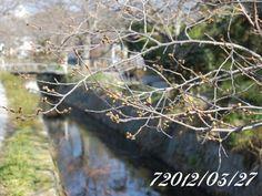 京都 哲学の道 桜 2012/03/27