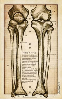 Anatomy of the Tibia and Fibula Flash Card - Antique Style - Original Illustration Print