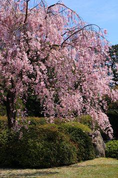 城南宮の華やかな満開の桜