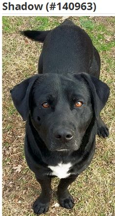 Shadow is a 2 year old neutered black male.  He is heartworm positive; LR will pay for his treatment.  He is good with other dogs and must go to a home with another dog.  He is not good with cats (or chickens), and is approved for kids aged 5 and up. He weighs 71 lbs. Shadow is a country boy and should be adopted to a single family suburban or rural home.  Shadow is shy when he first meets you, but gradually starts to trust you as he gets to know you.  #lab #rescue #adopt