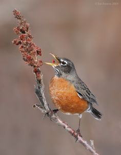 An American Robin(Turdus migratorius)enjoys eating Sumac Berries(Rhus sp.)Sumac provides delicious tea,jams,& even serves as a spice for human dishes.Several species have pleasantly aromatic foliage(Fragrant Sumac & Staghorn Sumac)-that turns color brilliantly each Autumn.Theres even a low growing species of fragrant Sumac that makes ideal groundcover.This native shrub is an ideal wildlife forage plant. C.lees birdwatching blogspot/thrushes