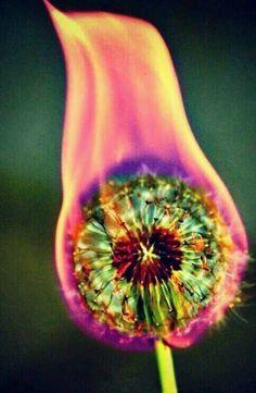 Set a dead dandelion in fire