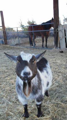 Stardust, Dash's Mother Goats, Animals, Animales, Animaux, Animal, Animais, Goat
