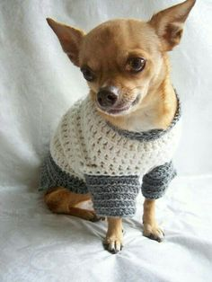 Chihuahua wearing a crochet sweater. #crochet #chihuahuasweater
