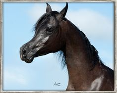 Al Manaar RCA, Bellagio RCA x Bint Imaara by Alidaar, grey Egyptian Arabian colt