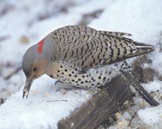 Description of Female Northern Flicker | Northern Flicker Colaptes auratus