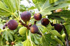 Neveljünk fügefát a kertünkben, mindenképpen megéri, egyrészt, mert csodálatosan szép növény, másrészt pedig finom és egészséges a termése! Fügefa nevelése