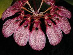 Bulbophyllum eberhardtii - Photograph © Eric Hunt