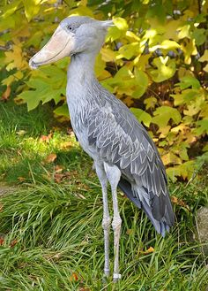 Shoebill(Balaeniceps rex) in the Walsrode Bird Park, Germany.    Author 	Quartl
