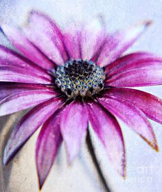 A Touch of Texture - photograph by Clare Bevan  #clarebevan #capedaisy #macrofloral @cnb74