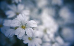 nature flowers macro white flowers  / 1920x1200 Wallpaper