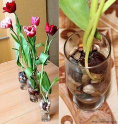 Выращивание тюльпанов в прозрачной вазе 1