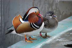 Pato mandarín | 22 animales de colores muy vivos que se ven demasiado hermosos como para ser reales