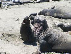 piedras blancas the place elephant seals call home thuis