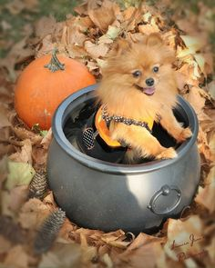 spice the pomeranian halloween