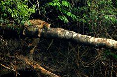 Onça-pintada (<em>Panthera onca</em>)