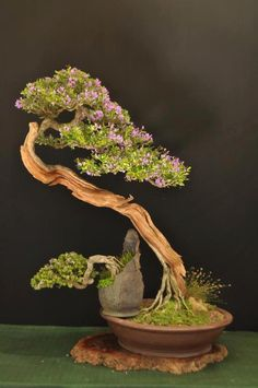 Growing bonsai from their seeds is essentially growing a tree from its seed. Get tips and guidelines on how to grow your first bonsai from its seed phase. Flowering Bonsai Tree, Bonsai Plants, Bonsai Garden, Bonsai Trees, Ikebana, Art Floral Japonais, Plantas Bonsai, Miniature Plants, Arte Floral