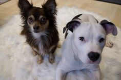 American Staffordshire, Chihuahua, Terrier, Pets, Animals, Animales, American Staffordshire Bull Terrier, Animaux, Animal