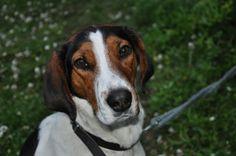Haldenstoevare Haldenstövare / Halden Hound / Haldenstovare #Puppy #Dogs #Scenthounds #Hunting #Dog Puppies Photography
