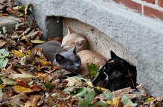 Barn Cats Snoozing in the Leaves (via Jaedde & Sis)
