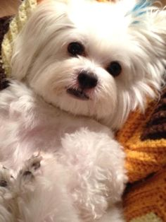 ~~They will melt your cold cold heart !!! ~~~ #maltese