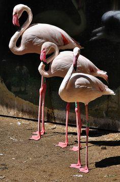 Greater Flamingo Flamingo Photo, Flamingo Art, Pink Flamingos, Greater Flamingo, Photos Of Eyes, Shorebirds, Pink Things, Exotic Birds, Bird Species