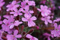 SAPONARIA OCYMOIDES: SEMINA, VARIETA', CONSIGLI. E' una pianta rusticissima, di facile adattabilità. Si presta a comporre folti cespi sulle rocce scogliere soleggiate. Non richiede particolari terricci né molta umidità. Si riproduce bene per seme (seminare in autunno o in primavera, in sito)... CONTINUA A LEGGERE SUL SITO: http://tuttosulgiardino.it/saponaria-ocymoides-semina-varieta-consigli/ ( #piante #fiori #piante da giardino #saponaria #giardinaggio #fai da te)