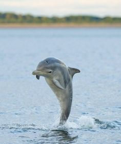 How can a baby dolphin's birth be kept a secret from the mother?