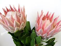 Protea King - Protea - Proteas and Leucadendrons - Flowers by category Flor Protea, Protea Flower, Flower Bouquet Wedding, Light Pink Flowers, Fresh Flowers, Beautiful Flowers, Different Flowers, Types Of Flowers, Wholesale Flowers Online