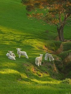 """Spring Lambs on Spring Grass ~ New Zealand! """"Where sheep may safely graze"""". Country Life, Country Living, Beautiful Creatures, Animals Beautiful, Animals And Pets, Cute Animals, Baby Farm Animals, Spring Lambs, Tier Fotos"""