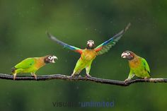 Trio  Brown-hooded Parrots (Pyrilia haematotis) by Bence Mate