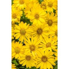 Proven Winners in. Grande Bright Lights Yellow African Daisy (Osteospermum) Live Plant, Yellow Flowers - The Home Depot Light Purple Flowers, Yellow Daisies, Pink Flowers, Yellow Flower Pictures, Proven Winners, Plant Lighting, How To Attract Hummingbirds, Annual Flowers, Flowers For You