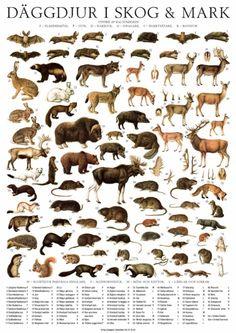 Affisch Däggdjur i Skog och Mark 50 x 70 i gruppen Affisher & Väggdekorer hos HouseofHedda.com (TemDaggdjurTryck)