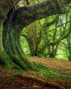 Giants' - Western Scotland 'Green Giants' Western Scotland by Gavin Hardcastle - Fototripper.'Green Giants' Western Scotland by Gavin Hardcastle - Fototripper. Haunted Forest, Tree Forest, Beautiful World, Beautiful Places, Amazing Nature, Belle Photo, Beautiful Landscapes, Mother Nature, Places To See