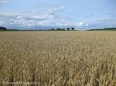 Die Raumfee: Weizenfeld bei Fürth, Mittelfranken