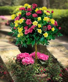 Loving this Yellow & Pink Sunblaze Patio Rose Tree on #zulily! #zulilyfinds