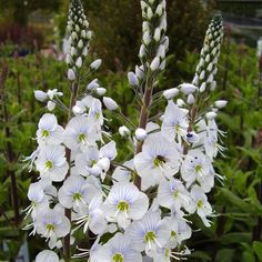 Veronica gentianoides 'Tissington White' | Copyright Romany Software Ltd