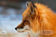 Red fox by Olga Gladysheva on 500px