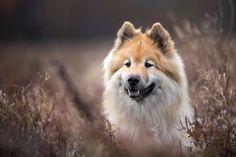 Tierfotografie rund um Basel und Möhlin: Hundefotoshooting mit Eurasierhündin Aura