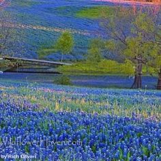 Fields of Bluebonnets...absolutely gorgeous! by sfaul