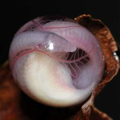 Single Caecilian (legless amphibian) Egg Close to Hatching as a Miniature-Adult Caecilian (no tadpole stage)