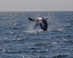 Killer Whale off Brier Island Nova Scotia aboard Island Link Undersea World, Atlantic Canada, Prince Edward Island, Orcas, New Brunswick, Killer Whales, Sea Birds, Whale Watching, Small Island