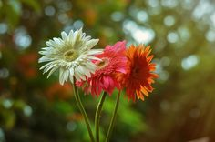 Cousins!! by Vani N on 500px, 97.7, IKON D5100 LensGerbera flower Focal Length50mm Shutter Speed1/500 s Aperturef/2.8 ISO/Film400 CategoryNature UploadedAbout 1 month ago TakenJune 18, 2014