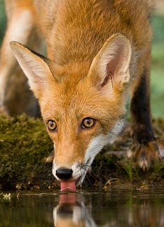 Red Fox by Václav Husinec